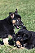 German shepherd puppy biting its sibling's leg