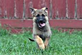 German shepherd puppy running in the grass