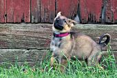 German shepherd puppy running & playing by an old barn