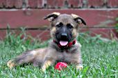 German shepherd puppy with a red ball
