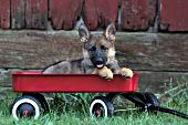 German shepherd puppy in a red wagon near an old barn