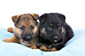 Portrait of two shepherd puppies - sable & black & tan