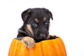 German shepherd puppy playing in a pumpkin