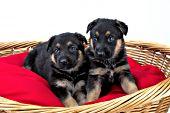 Two German shepherd puppies in a wicker bed