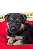 German shepherd puppy in a wicker bed