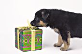 German shepherd puppy investigating a wrapped gift
