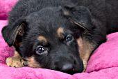 German shepherd puppy sleeping on a pink bed