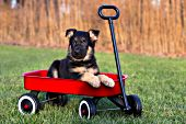German shepherd puppy in a red wagon