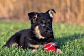 German shepherd puppy in the grass with a red ball