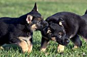 German shepherd puppies tugging on & playing with one another