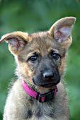 Inquisitive German shepherd puppy