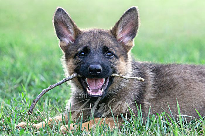 German shepherd puppy chewing on a stick