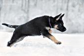 German shepherd puppy running in snow