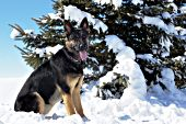 German shepherd sitting by a pine tree in snow
