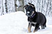 German shepherd puppy in snow
