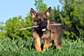 German shepherd puppy playing with a stick