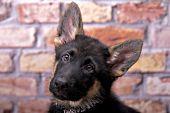 Curious German shepherd puppy