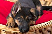 German shepherd puppy in a wicker dog bed