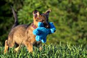 German shepherd puppy carrying a teddy bear in its mouth