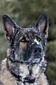 German shepherd with snow on his face