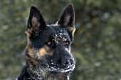 German shepherd with snow on her face