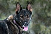 German shepherd portrait with snow on her face
