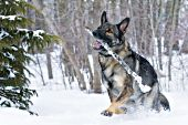 German shepherd running & playing with a stick in snow