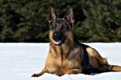German shepherd resting in snow