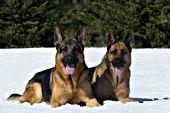 Pair of German shepherds resting in snow