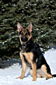 German shepherd puppy sitting in the snow