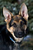 German shepherd puppy portrait