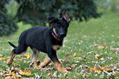 German shepherd puppy running in the grass