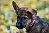 Geman shepherd puppy and autumn leaves