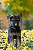 Geman shepherd puppy with a yellow leaf on his nose