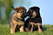 Pair of German shepherd puppies nuzzling one another