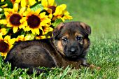 German shepherd puppy and sunflowers