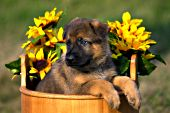 German shepherd puppy in a wooden pail with sunflowers