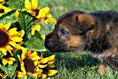 German shepherd puppy sniffing sunflowers
