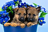 Pair of German shepherd puppies in a pail of blue flowers