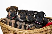 Four German shepherd puppies in a wicker basket