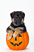 German shepherd puppy in a jack-o-lantern