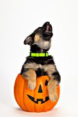 German shepherd puppy howling while in a jack-o-lantern