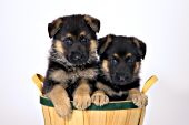 Pair of German shepherd puppies in a basket