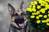 German shepherd & chrysanthemums