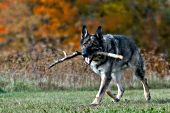 German shepherd playing with a stick