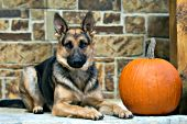 German shepherd and pumpkin