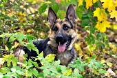 German shepherd in fall foliage