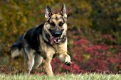 German shepherd running and playing in autumn