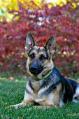 German shepherd and fall foliage