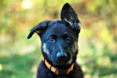 German shepherd puppy in autumn